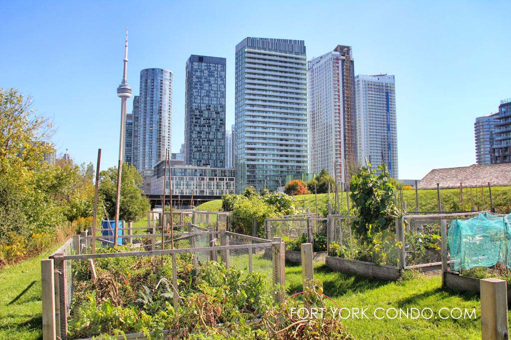 Community Garden looking east towards fort york condos and downtown toronto